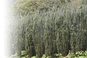 朝鮮槇圃場
