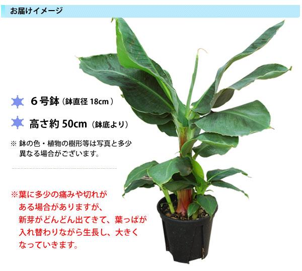 バナナの木鉢植え(6号)