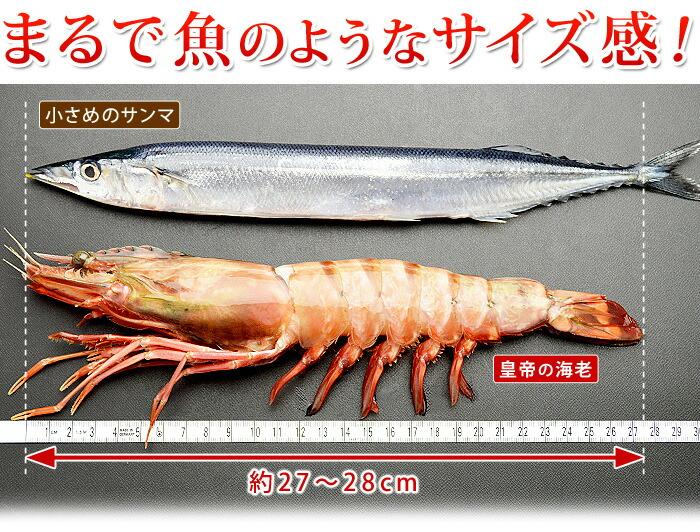 まるで魚のようなサイズ感の天然シータイガー皇帝の海老!