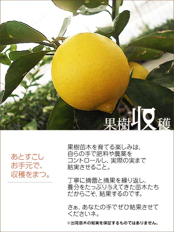 カテゴリ(果樹収穫)