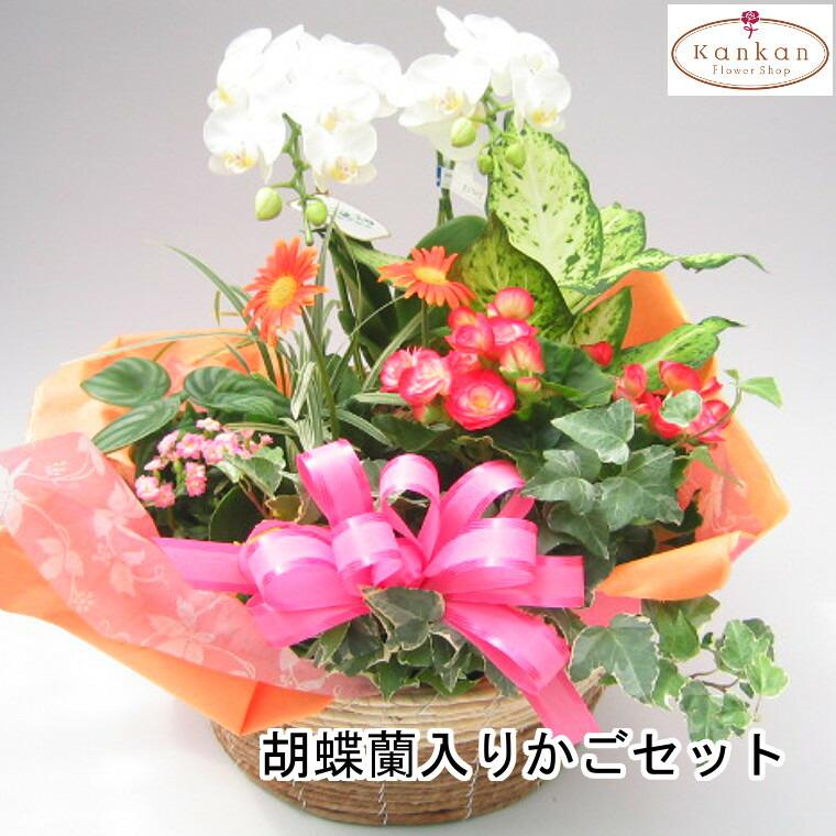 白胡蝶蘭入りカゴセット
