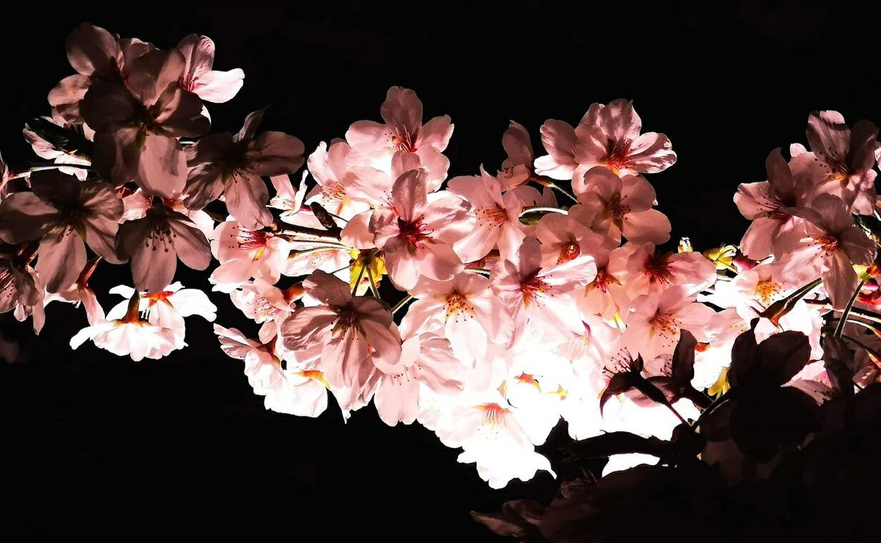 桜の名所 千鳥ヶ淵でお花見