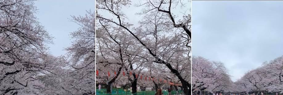 上野公園でお花見酒 桜の名所