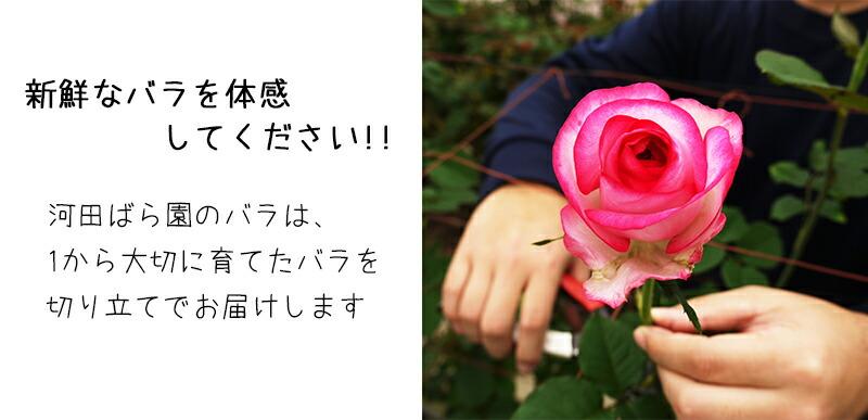 新鮮なバラを体感してください