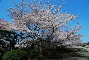 桜PLなし