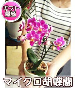 マイクロ胡蝶蘭ボックス入 3,500円