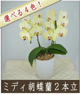 ミディ胡蝶蘭2本立ち 8,000円