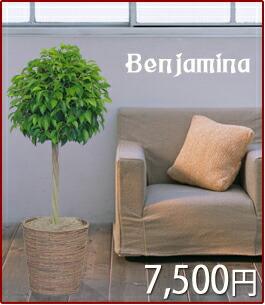 観葉植物 ベンジャミン トピアリー仕立 7,500円