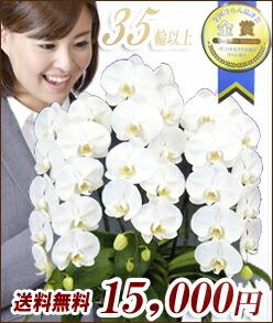 胡蝶蘭 大輪 白3本立15000円