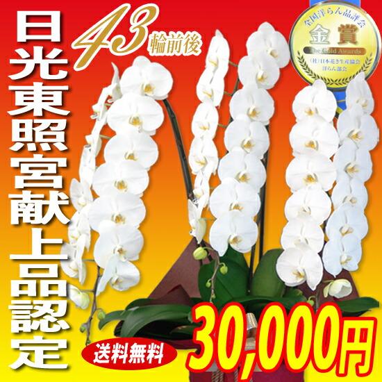 大輪胡蝶蘭3本立 30,000円