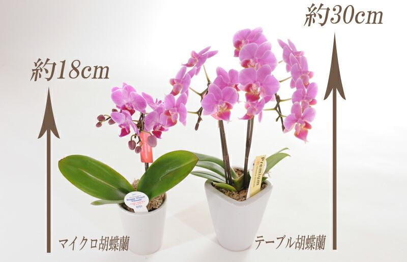 テーブル胡蝶蘭・マイクロ胡蝶蘭比較