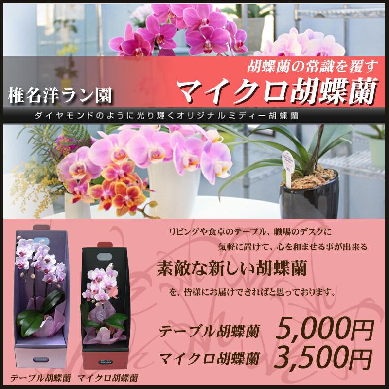 椎名洋ラン園のマイクロ胡蝶蘭