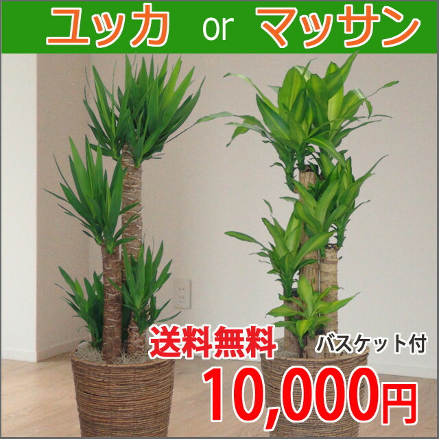 観葉植物 マッサン8号鉢