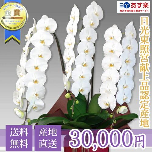 大輪胡蝶蘭3本立ち 30,000円