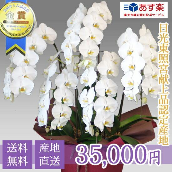 大輪コチョウラン5本立ち 35,000円