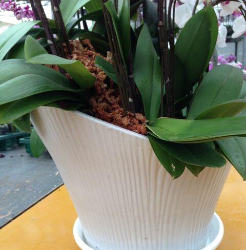 胡蝶蘭への水の与え方