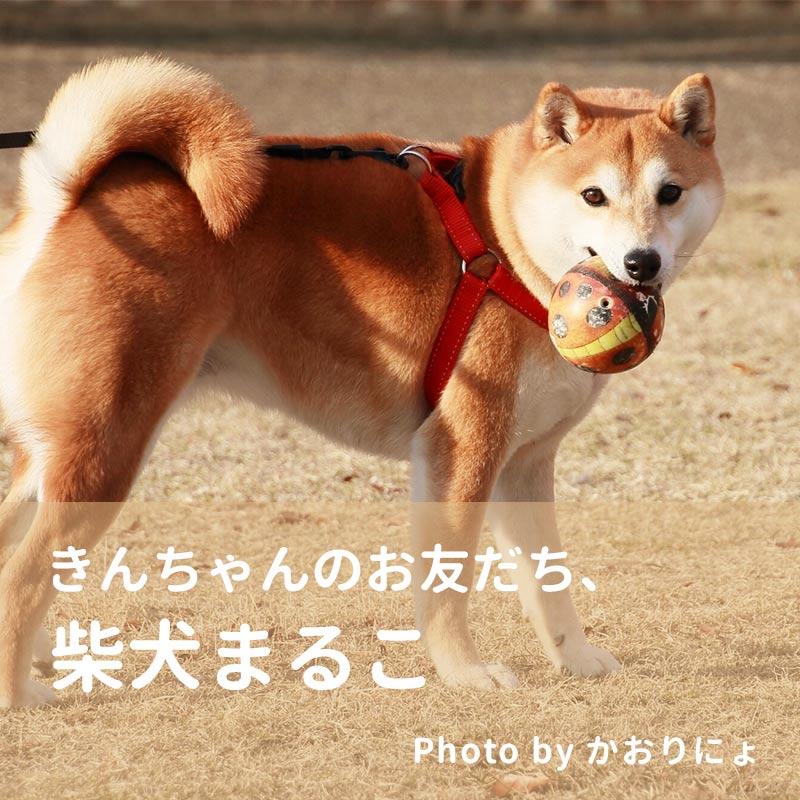 柴犬 まるこ