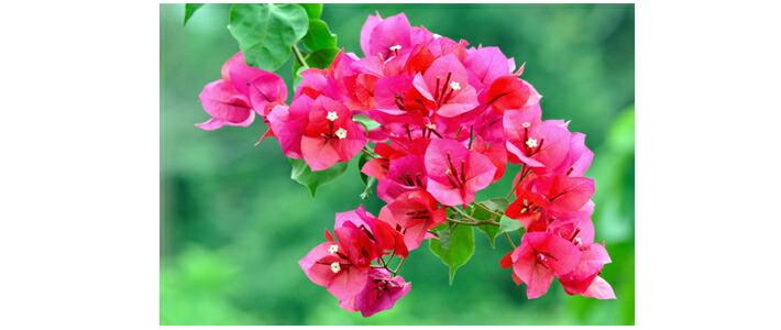 全10種マルチカラージュエル18金パヴェリング「ブーゲンビリアブーケ」のイメージ花