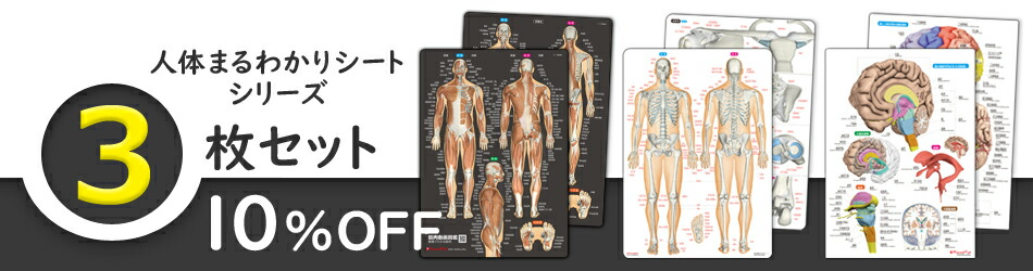 人体まるわかりシート 3枚セット(筋肉シート&骨と関節シート&脳シート)