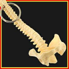 「骨格キーホルダー(脊柱)」