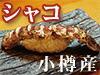 シャコ!!北海道石狩湾のシャコ