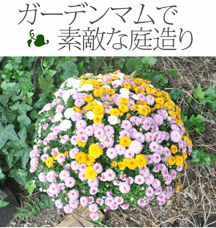 ガーデンマム