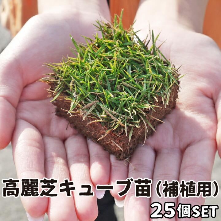 高麗芝キューブ苗25苗