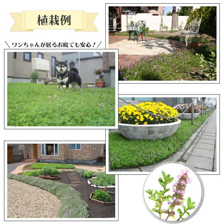 ハーブマット クリーピングタイム植栽例