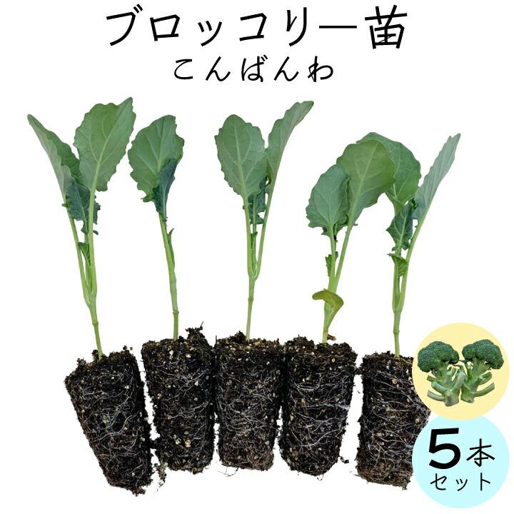ブロッコリー(こんばんは)5苗セット