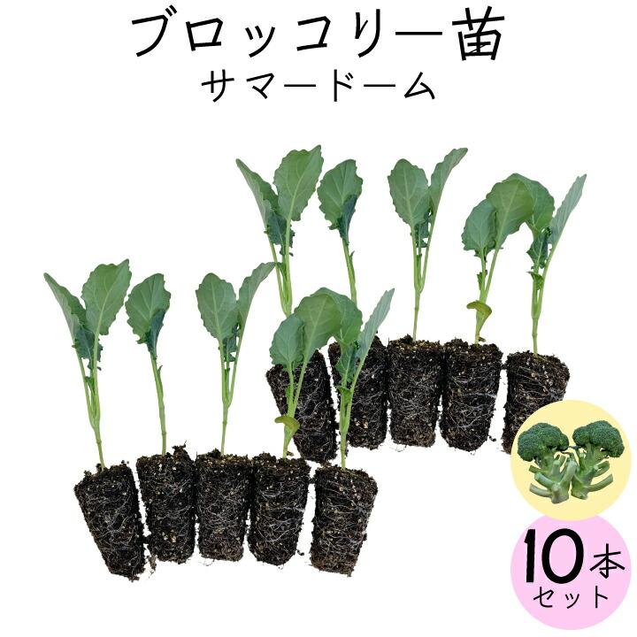 ブロッコリー10本