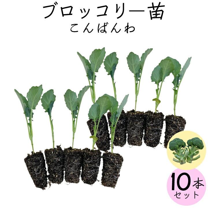 ブロッコリー10苗