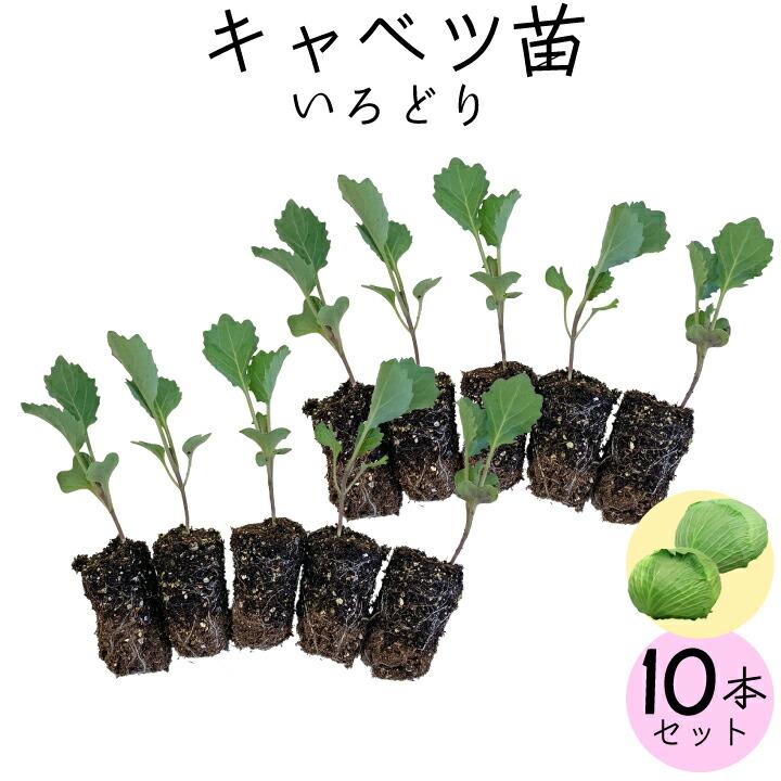 野菜苗キャベツ10本
