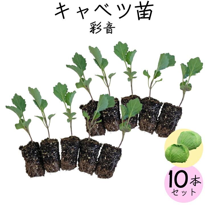 キャベツ苗10苗