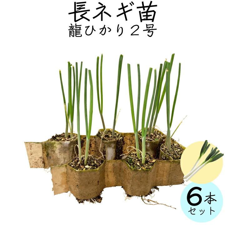 ネギ苗龍ひかり2号