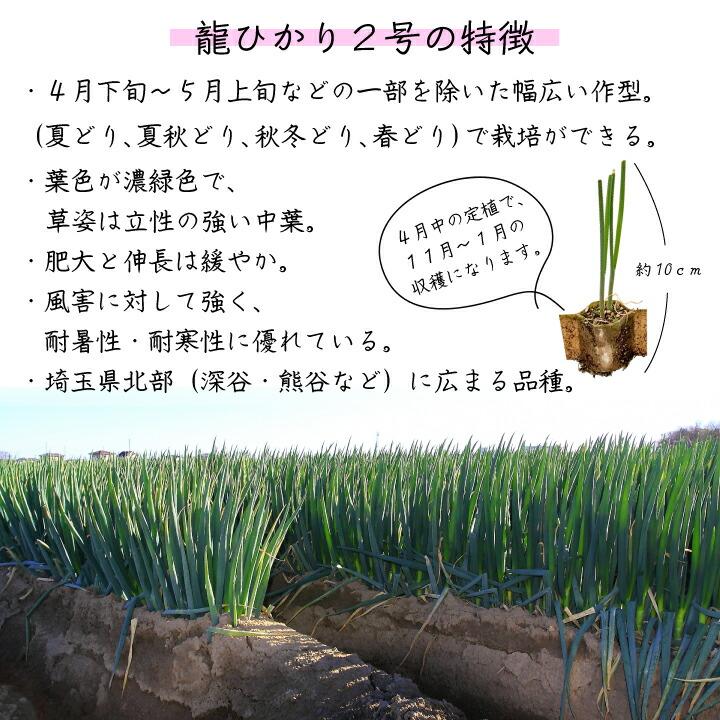 ネギ苗龍ひかり2号の特長