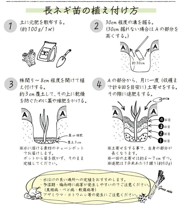 ネギ苗龍ひかり2号植え付け方法