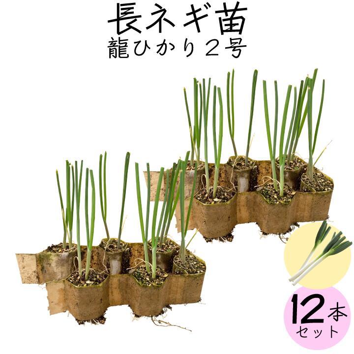 長ネギ苗龍ひかり2号