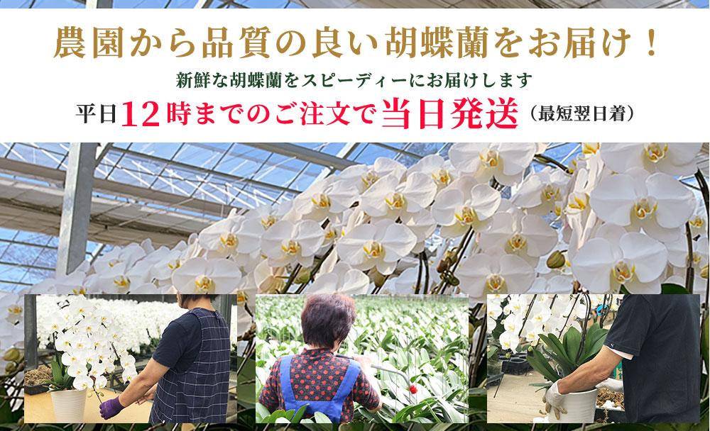 農園から品質の良い胡蝶蘭をお届け!新鮮な胡蝶蘭をスピーディーにお届けします