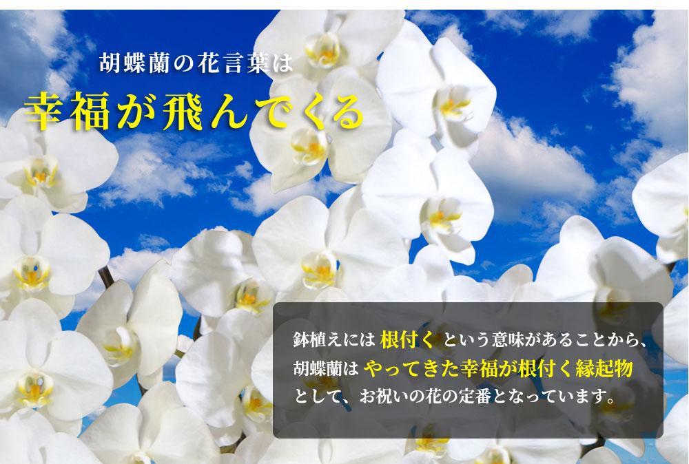 胡蝶蘭の花言葉は 幸福が飛んでくる
