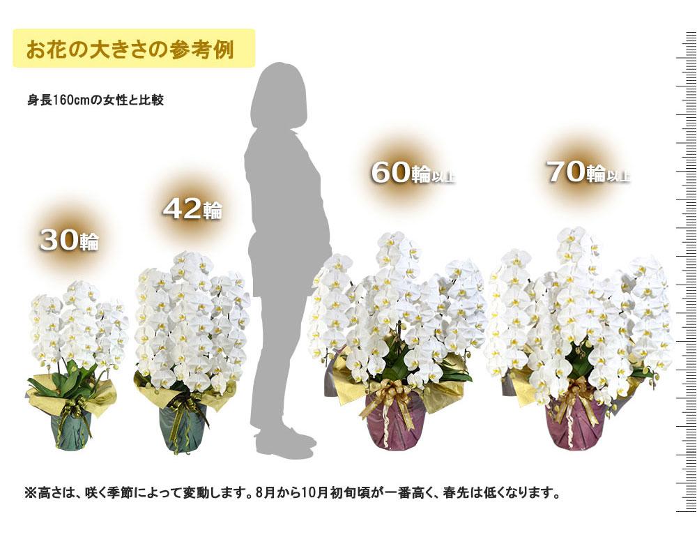 お花の大きさの参考例 ※高さは、咲く季節によって変動します。8月から10月初旬頃が一番高く、春先は低くなります。