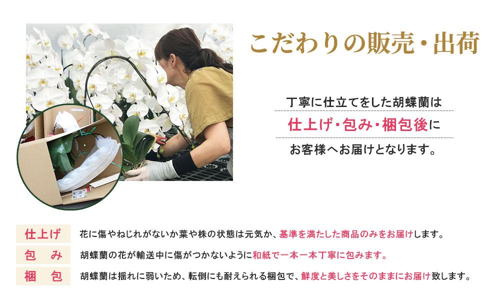 こだわりの販売・出荷 丁寧に仕立てをした胡蝶蘭は 仕上げ・包み・梱包後に お客様へお届けとなります。