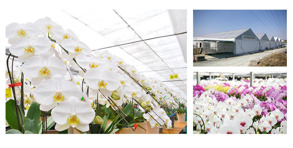 農場は愛知県豊橋市の南東端に位置し、多くの緑と豊富な水があり、植物に非常に優れた環境で栽培しています。広大な温室において最良の胡蝶蘭を栽培、業界トップクラスの量を出荷しております。