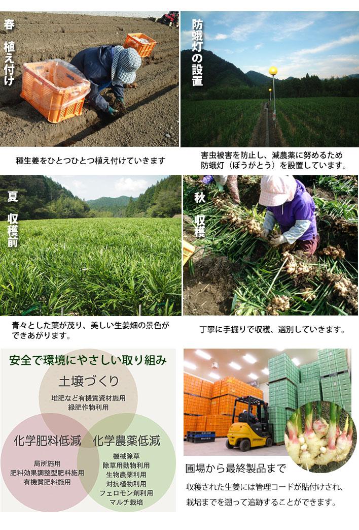 徹底した管理のもと生姜作りをしています