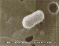 バチルス菌の写真