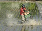 JAS有機米米ぬか散布で稲を守る