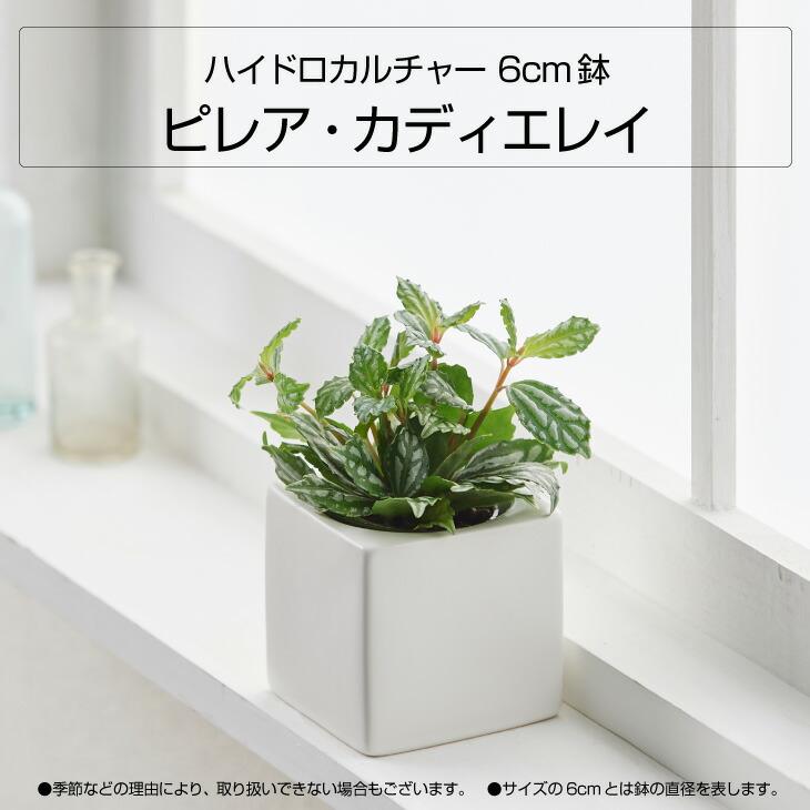 選べる観葉植物6cm