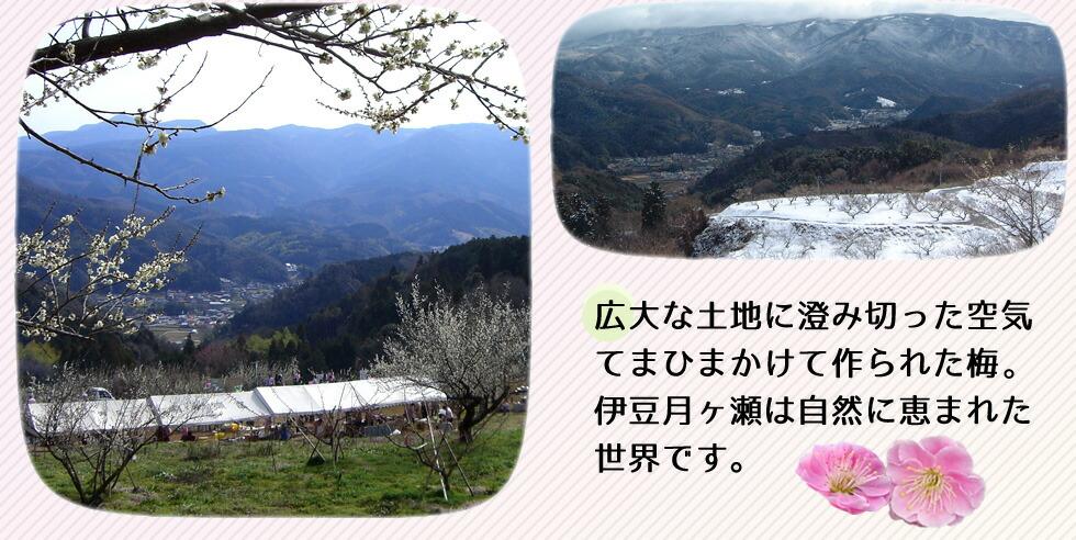 広大な土地に澄み切った空気。てまひまかけて作られた梅。伊豆月ヶ瀬は自然に恵まれた世界です。