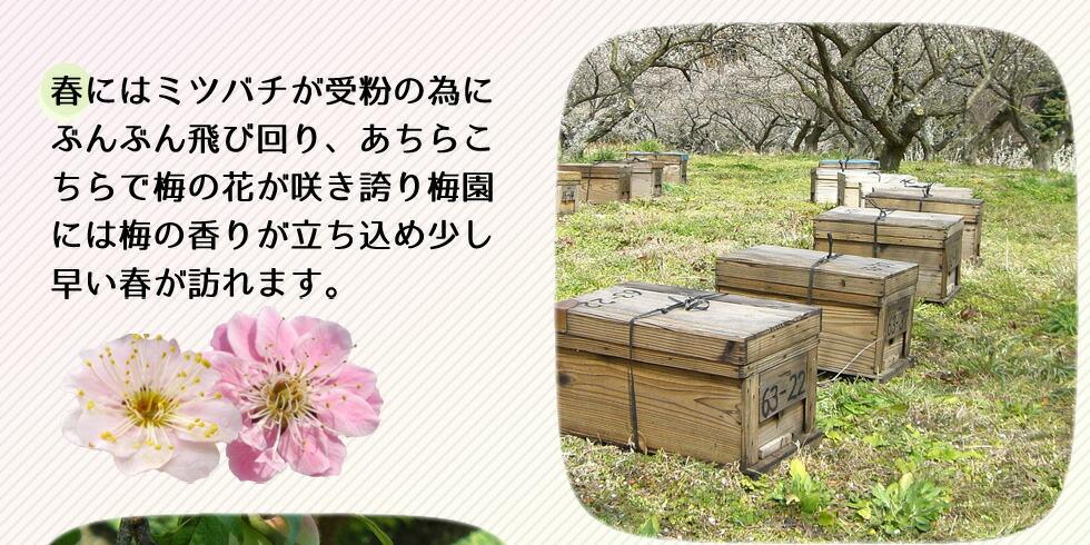 春にはミツバチが受粉のためにぶんぶん飛び回り、あちらこちらで梅の花が咲き誇り梅園には梅の香りが立ち込め少し早い春が訪れます。