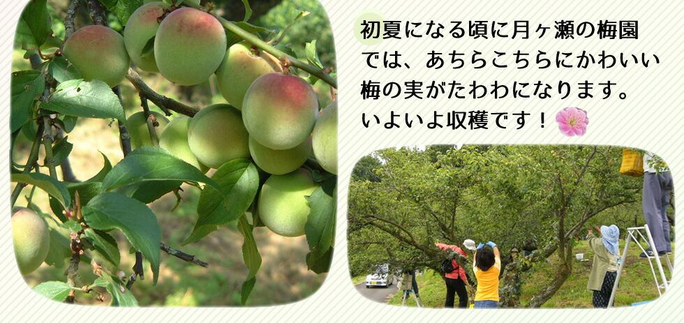 初夏になる頃に月ヶ瀬の梅園では、あちらこちらにかわいい梅の実がたわわになります。いよいよ収穫です。