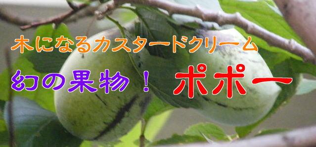 幻の果物 ポポー(ポウポウ・ポーポー) 木になるカスタードクリーム